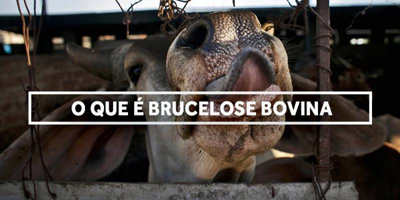 brucelosebovina-blog